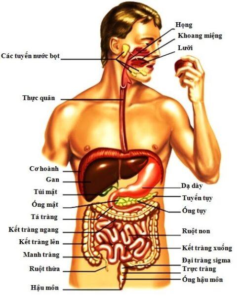 Cơ thể xử lý thức ăn như thế nào?