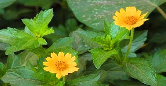 Chia sẻ công dụng trị bệnh từ thảo dược Sài Đất
